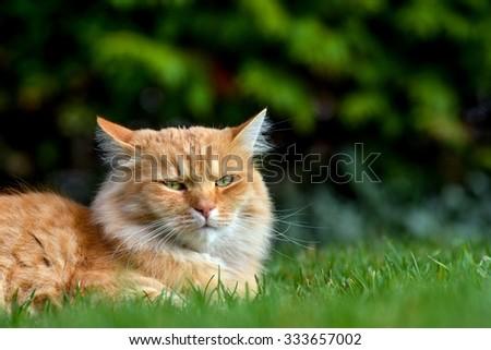Beautiful ginger cat lying in the garden - stock photo