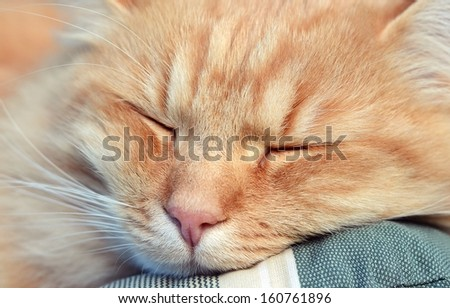 Beautiful ginger cat sleeping