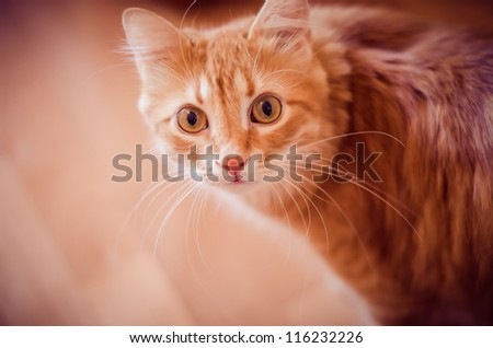 beautiful ginger cat with  eyes looking at the camera - stock photo