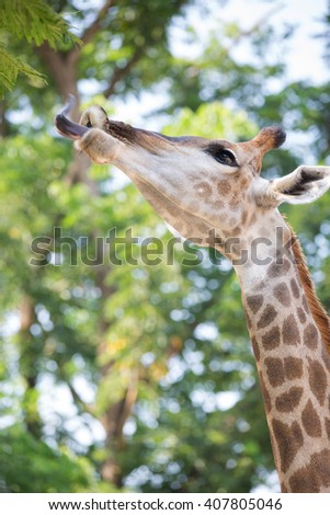 Beautiful Giraffe Close up, Giraffe Camelopardalis, The Tallest Animal, African  - stock photo