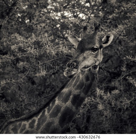 Beautiful giraffe portrait in Namibia. Monochrome. Barbed tree background. (Namibia, South Africa) - stock photo