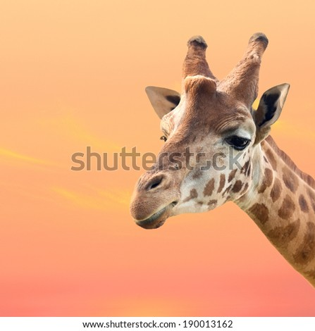 Beautiful giraffe with a orange sky of background - stock photo