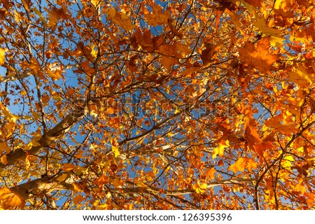 Beautiful golden leaves in Autumn against blue sky in Greece