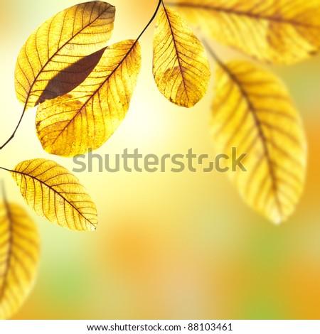 Beautiful golden leaves of walnut tree in warm sunbeam. Autumn background - stock photo