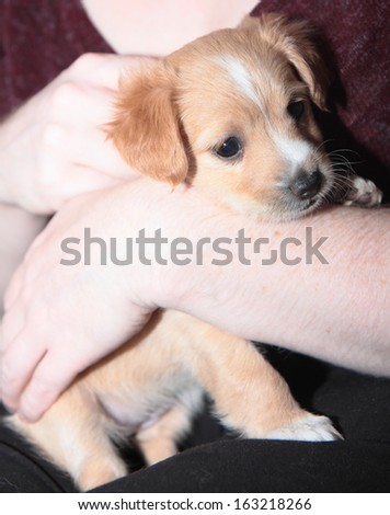 Beautiful golden puppy lovingly cradled in woman's arms - stock photo