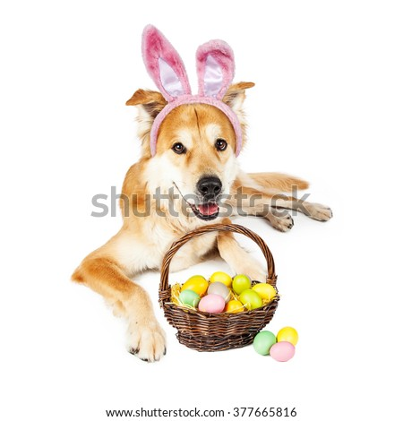 Beautiful Golden Retriever crossbreed dog wearing Easter Bunny ears laying down with a basket full of colorful eggs