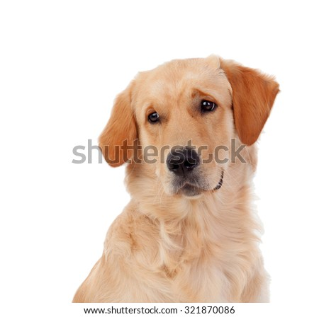 Beautiful Golden Retriever dog breed in isolated studio on white background - stock photo