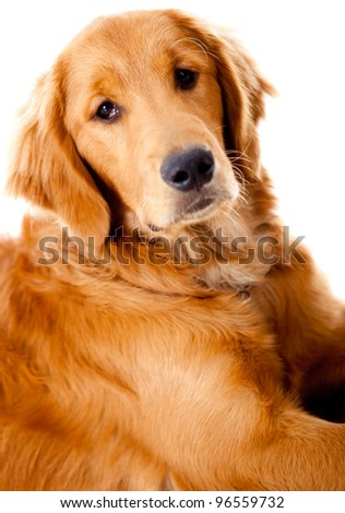 Beautiful Golden Retriever dog - isolated over a white background - stock photo