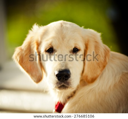 beautiful golden retriever pup head closeup - stock photo