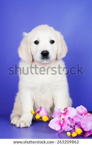 beautiful golden retriever puppy - stock photo