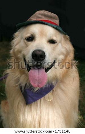 beautiful golden retriever with scarf and hat