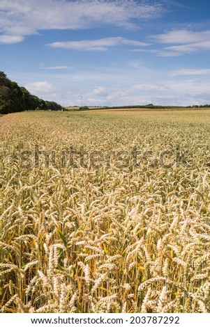 Beautiful golden wheat field landscape, sunny summer day with blue sky and clouds, Germany farm - stock photo