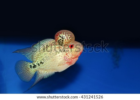 Beautiful good color Flowerhorn cichlid fish on blue background