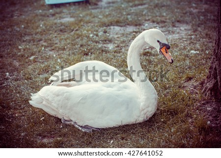 Beautiful graceful white swan adult is sitting on the grass. In the animal world.  Vintage - stock photo