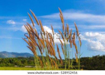 Beautiful Grass flower on blue sky background.