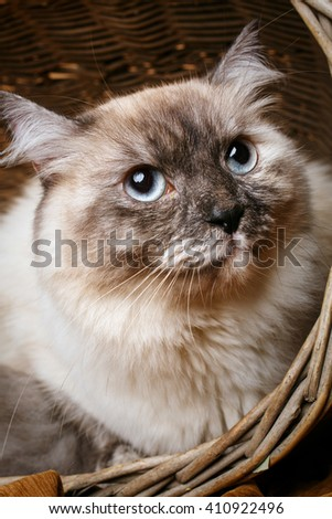 beautiful gray cat with blue eyes  in a wooden basket - stock photo
