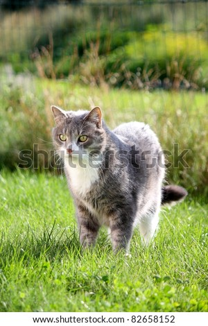 Beautiful gray cat with white chest standing on the grass