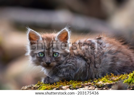 Beautiful gray lost kitten looking at the photographer
