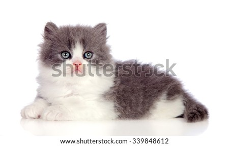 Beautiful gray Persian cat lying on the floor isolated on white background - stock photo