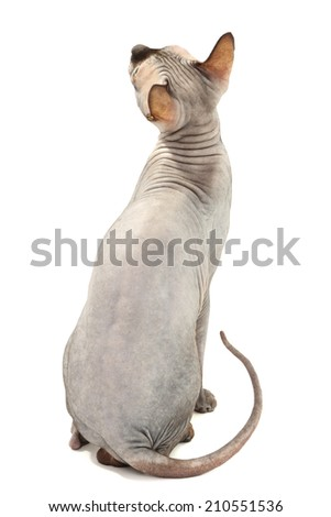 Beautiful gray sphinx cat isolated on white - stock photo