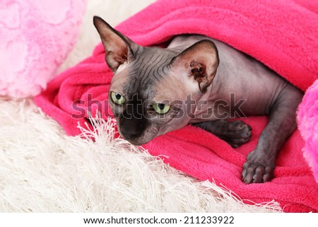 Beautiful gray sphinx cat lying on plaid in room - stock photo