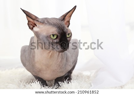 Beautiful gray sphinx cat on carpet in room - stock photo