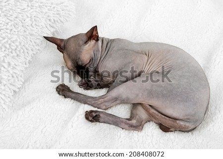 Beautiful gray sphinx cat relaxing on bed - stock photo