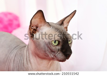 Beautiful gray sphinx cat relaxing on plaid in room - stock photo