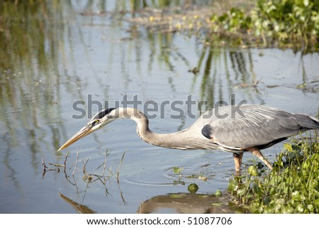 Beautiful Great Blue Heron on shore fishing - stock photo