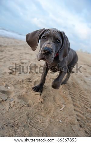 Beautiful Great Dane puppy on the beach - stock photo