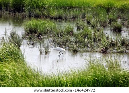 Beautiful Great Egret (Ardea alba) standing in grassy marshland. - stock photo