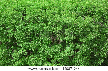 Beautiful green bush close up - stock photo