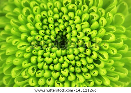 Beautiful green chrysanthemum close-up - stock photo