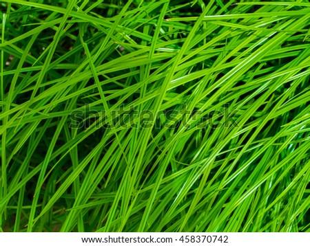 Beautiful green grass. Grass background.  - stock photo