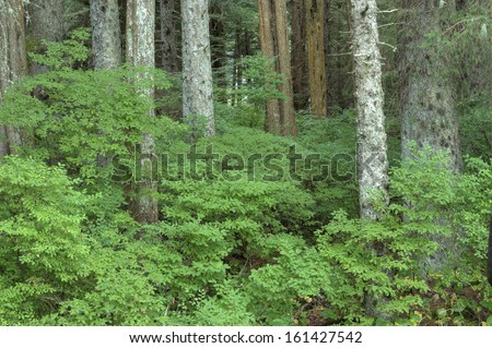 Beautiful green huckleberry bushes in dense forest near Sitka on Baranof Island in southeast Alaska - stock photo