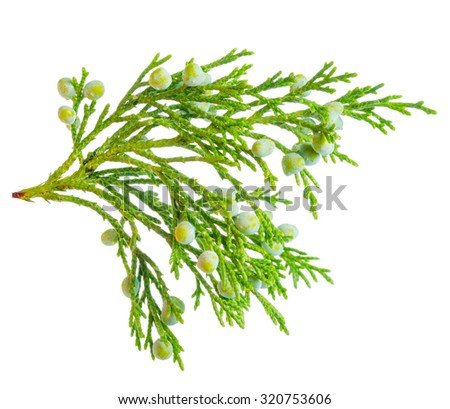 beautiful green juniper plant with berries is isolated on white background, closeup