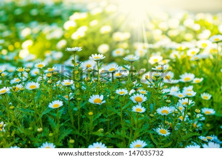 Beautiful green lawn with white fresh chamomile flowers lit by sunlight