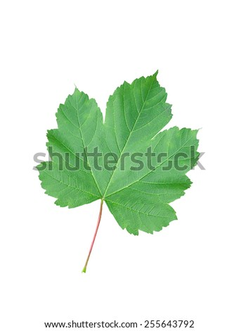 Beautiful green leaf isolated on white background - stock photo