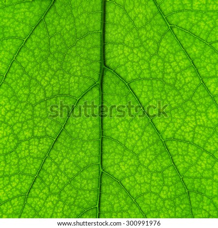 beautiful green leaf with veins - stock photo