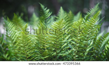 Beautiful green leaves of a fern bush