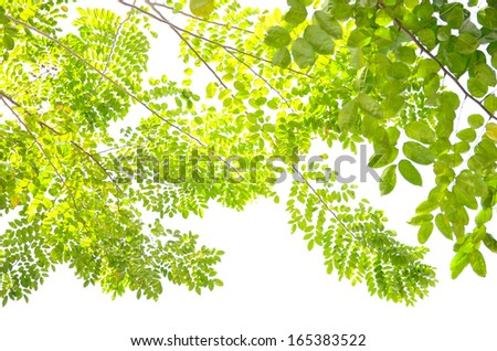 Beautiful Green leaves on white background