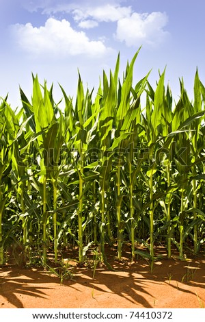 Beautiful green maize on the field - stock photo