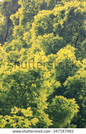 Beautiful green maple tree leaves for nature background