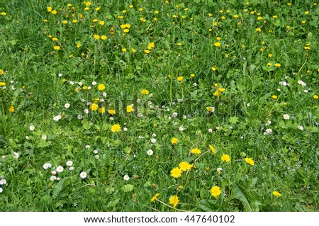 Beautiful green meadow with nice chamomile and dandelions. Wonderful rural landscape. Amazing meadow with wildflowers. Summer countryside environment. Chamomile & dandelions are full of nectar Village - stock photo