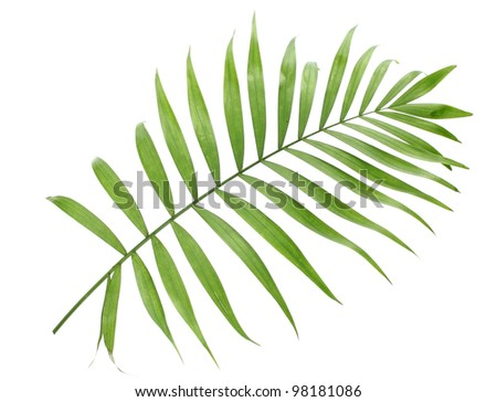 beautiful green palm leaf isolated on white - stock photo
