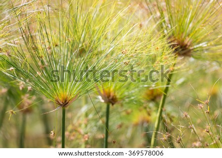 Beautiful green Papyrus plants with selective focus - stock photo