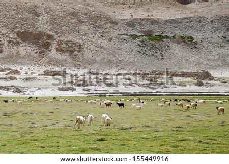 Beautiful green pasture and Changthangi goats of Ladakh - stock photo