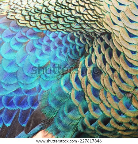 Beautiful Green Peacock feathers, texture abstract background - stock photo