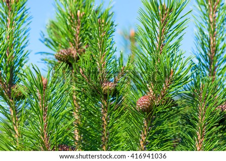 beautiful green pine branches and cones against the blue sky - stock photo