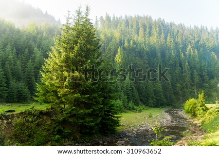 Beautiful green pine trees on Carpathian mountains in Ukraine.